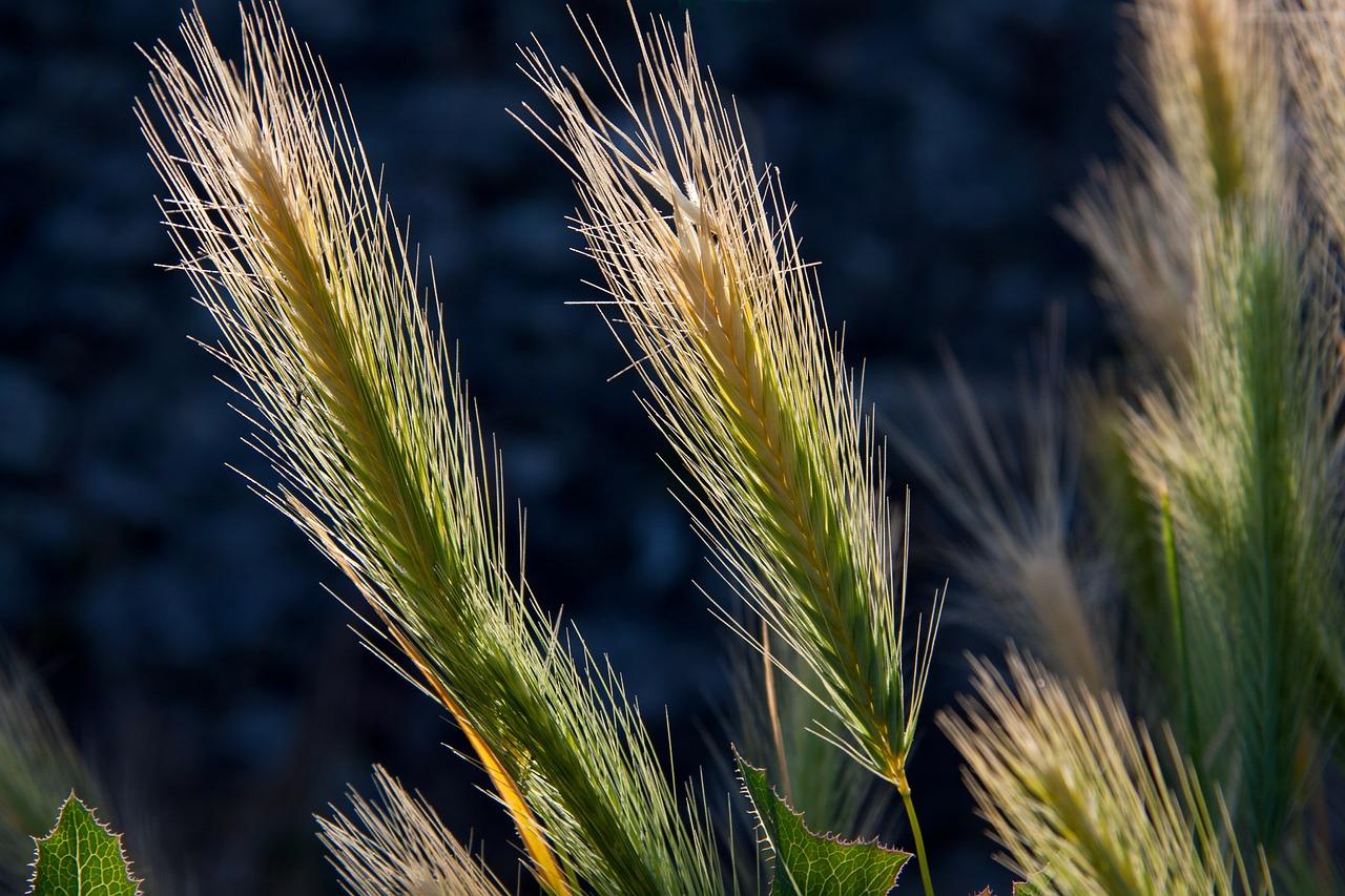 Image: stux, Wheat Crops Barley, Pixabay, Pixabay Licence