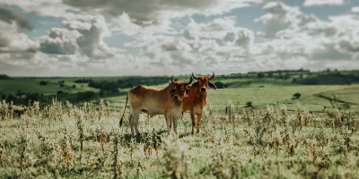 Image: Sergio Souza, Brown cow on the middle of grass field, Unsplash, Unsplash Licence