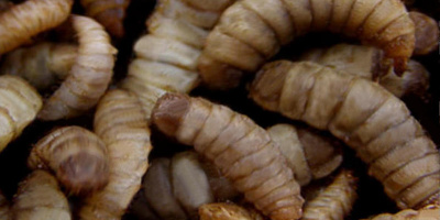 Image: MD-Terraristik, larvae of the black soldier fly, Wikimedia Commons, Public domain