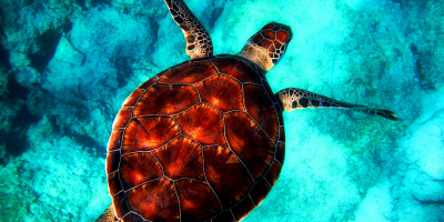 Image: http://fshoq.com, Sea turtle in the ocean, Creative Commons Attribution 4.0 International