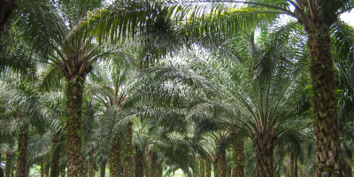 Image: Craig, Oil palms in Malaysia, Wikimedia Commons, Public domain