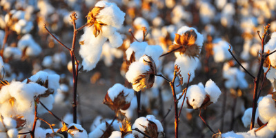 Image: Kimberly Vardeman, Cotton Harvest, Flickr, Creative Commons Attribution 2.0 Generic