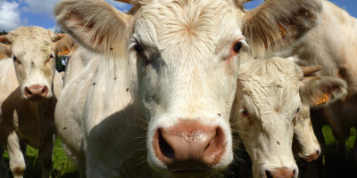 Photo: Stanze, Young male Charolais cattle, Flickr, CC by 2.0